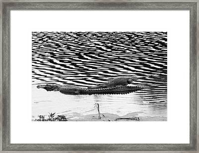 Ripped Aligators Framed Print by Farol Tomson