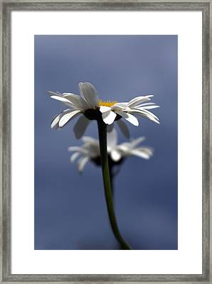 Rising Daisies Framed Print by Elsa Marie Santoro