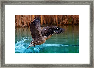 Rising Flight Framed Print by Brian Stevens