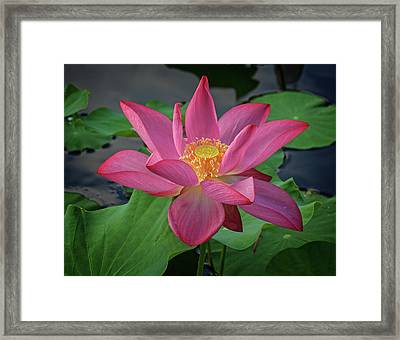 Framed Print featuring the photograph Rising From The Pond by Robert Pilkington