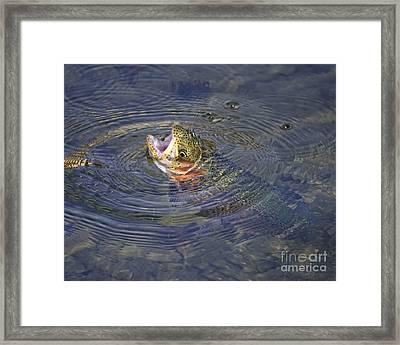Rising Rainbow Trout Framed Print by Timothy Flanigan