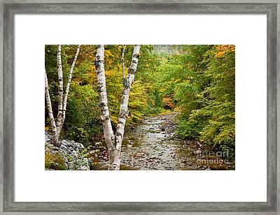 River Birch Framed Print