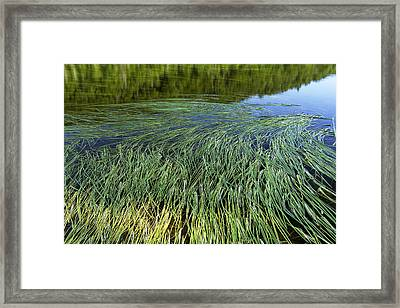 River Reeds Framed Print by Tom  Wray