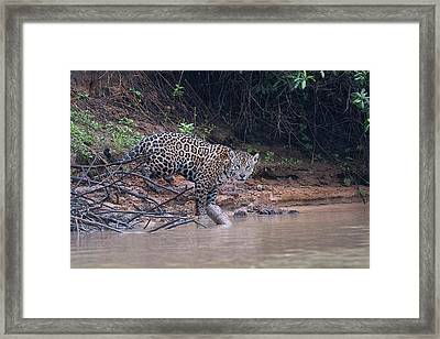 Framed Print featuring the photograph Riverbank Jaguar by Wade Aiken