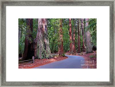 Road Through Redwood Grove Framed Print