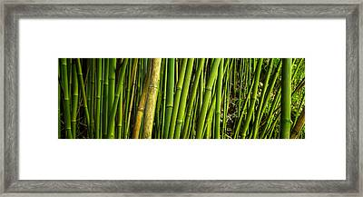 Road To Hana Bamboo Panorama - Maui Hawaii Framed Print
