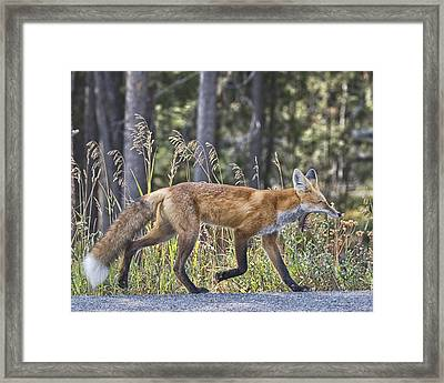 Road Weary Framed Print