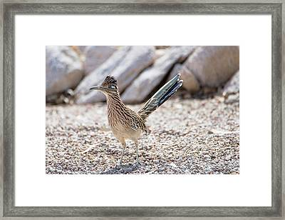 Framed Print featuring the photograph Roadrunner Hunting by Dan McManus