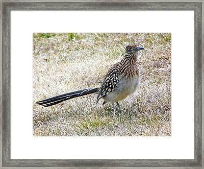 Roadrunner New Mexico Framed Print