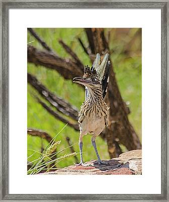 Roadrunner - Youngster Framed Print by Allen Sheffield