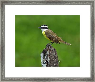 Roadside Kiskadee Framed Print by Tony Beck
