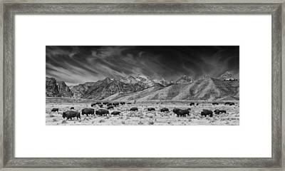 Roaming Bison In Black And White Framed Print