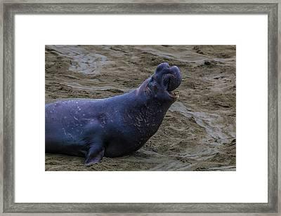 Roaring Bull Elephant Seal Framed Print