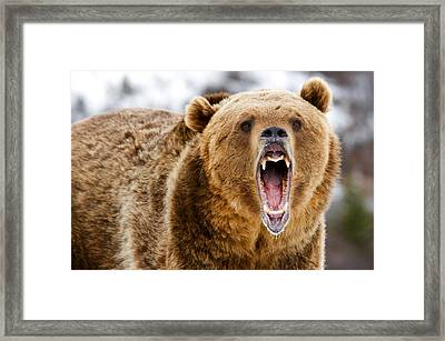 Roaring Grizzly Bear Framed Print