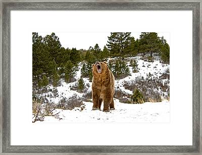 Roaring Grizzly In Winter Framed Print