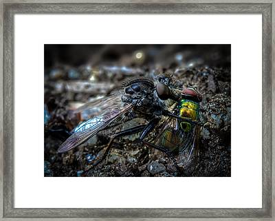 Robber Fly Eating Green Bottle Fly Framed Print
