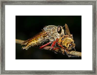 Robber Fly With Bee Framed Print