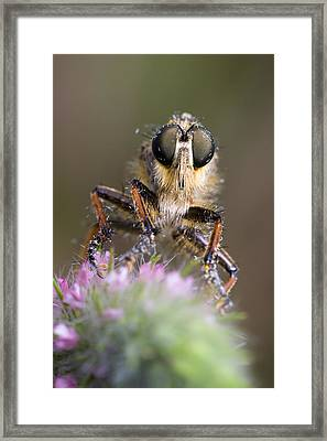 Robberfly Framed Print by Andre Goncalves