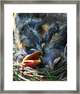 Robbin Nest Framed Print by Diane E Berry