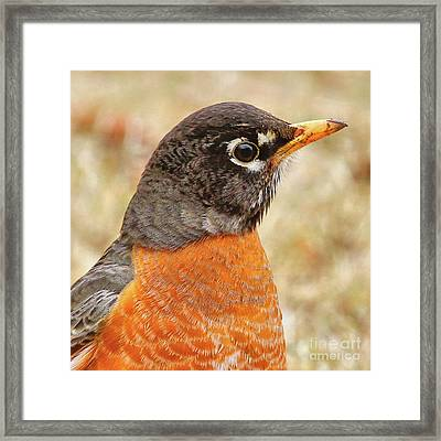 Framed Print featuring the photograph Robin by Debbie Stahre