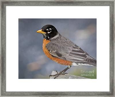 Robin Framed Print by Douglas Stucky