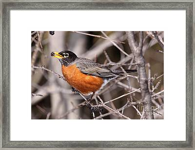 Robin Eating Framed Print by Chris Hill