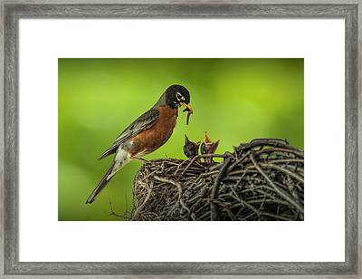 Robin Feeding It's Young In A Nest Framed Print by Randall Nyhof
