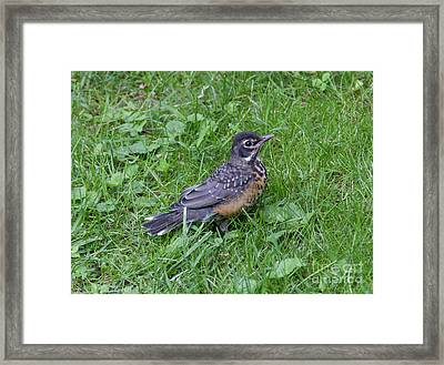 Framed Print featuring the photograph Robin Fledgling by Chris Scroggins