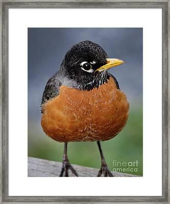 Robin II Framed Print by Douglas Stucky