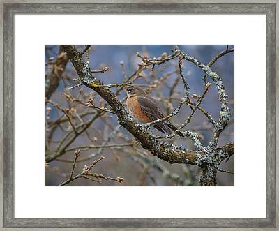 Robin In A Tree Framed Print