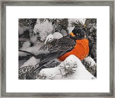 Robin In March Snowstorm In Michigan Framed Print