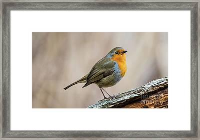 Robin In Spring Framed Print by Torbjorn Swenelius