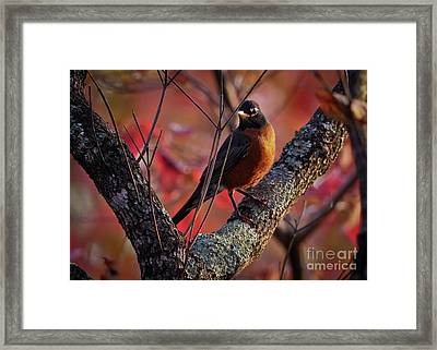 Framed Print featuring the photograph Robin In The Dogwood by Douglas Stucky