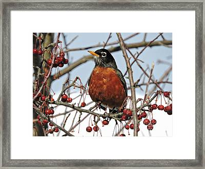 Robin In Winter Framed Print