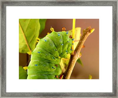 Framed Print featuring the photograph Robin Moth Caterpillar by Claire Bull
