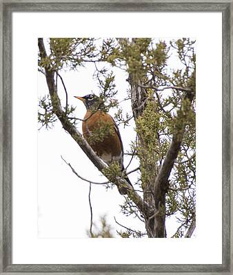 Robin On The Lookout Framed Print