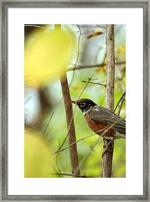 Robin Perched Framed Print by Off The Beaten Path Photography - Andrew Alexander