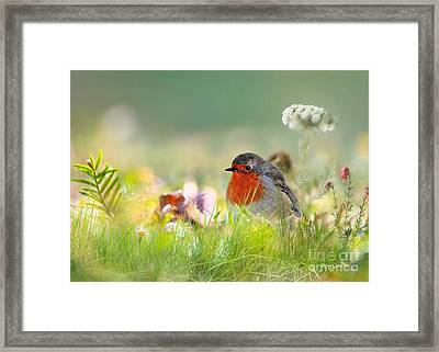 Robin Red Breast Framed Print