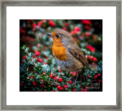 Framed Print featuring the photograph Robin Redbreast by Adrian Evans