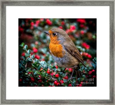 Robin Redbreast Framed Print by Adrian Evans