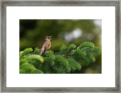 Robin Singing Framed Print by Sharon Talson