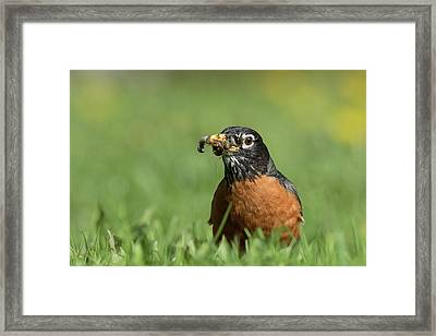 Robin With Worms Framed Print by Mircea Costina Photography