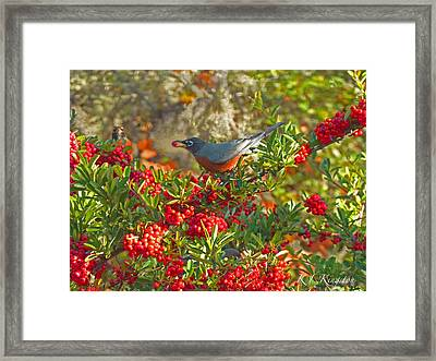 Framed Print featuring the photograph Robins Berry Feast by K L Kingston