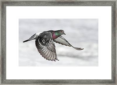 Rock Dove In Flight Framed Print by Mircea Costina Photography