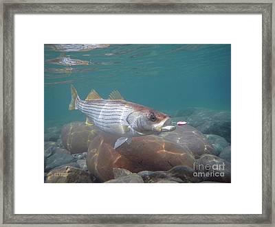 Rockfish On The Rocks Framed Print