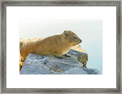 Rock Hyrax On Table Mountain Cape Town South Africa Framed Print