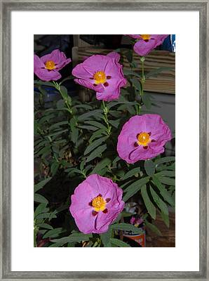 Rock Rose Orchid Framed Print by Bill Hyde