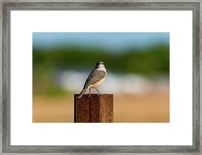 Rock Wren 1 Framed Print