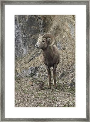 Rockies Big Horn Framed Print