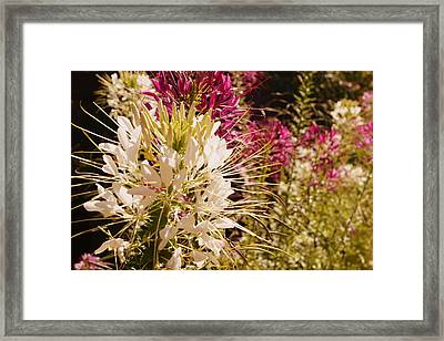 Rocky Mountain Bee Plant Framed Print by Beth Collins